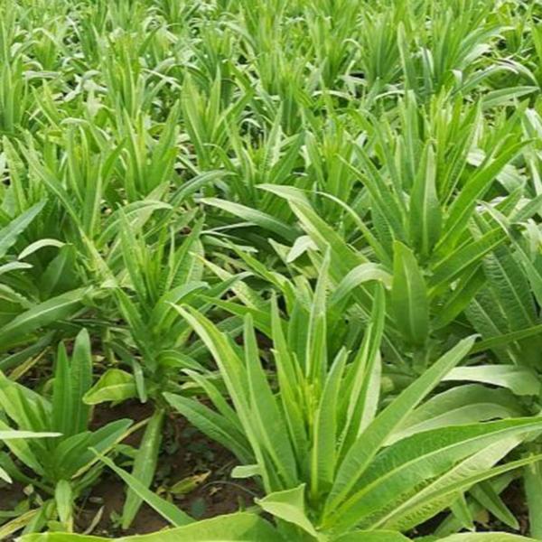 贡菜种植基地-贡菜生产厂家