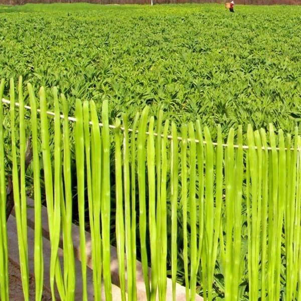 贡菜种植基地-贡菜厂家